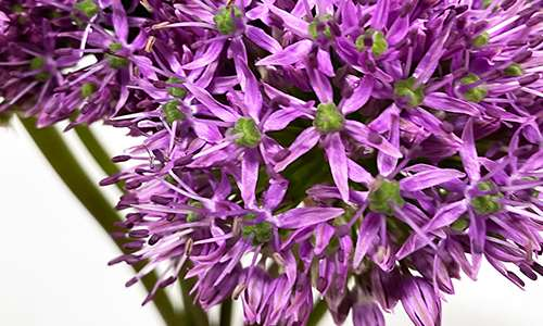 Vianen Flowers flower wholesale flowerexport Allium