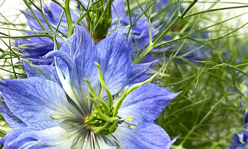 vianen flowers flower wholesale flowerexport nigella