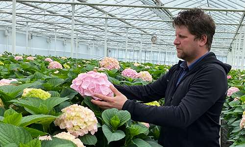 Hydrangea Flower Wholesale Vianen Flowers